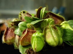 Cephalotus follicularis | australian pitcher plant | adult plants XL