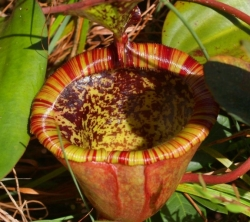 Nepenthes attenboroughii | carnivorous plants seeds | 10s