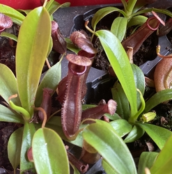 Nepenthes 'Bill Bailey' | 6 - 8 cm