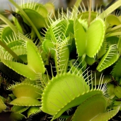 Dionaea muscipula | venus fly trap | all green | carnivorous plants seeds | 10 seeds