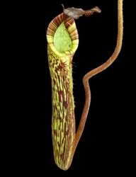 Nepenthes fusca | flared peristome | 6 - 8 cm