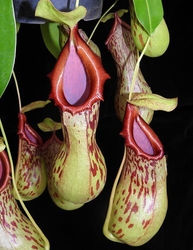 Nepenthes burkei | Halcon | 6 - 10 cm