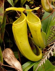 Nepenthes ceciliae | 6 - 8 cm