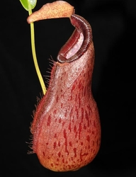 Nepenthes 'Bill Bailey' x robcantleyi | 6 - 8 cm