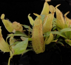 Nepenthes hirsuta | spotted | 4 - 6 cm