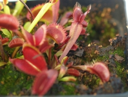 Dionaea muscipula | All red fused | 3 - 4 cm