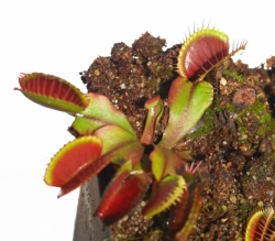 Dionaea muscipula | all red giant | 3 - 4 cm