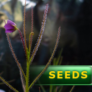 Byblis filifolia | Honeymoon Beach | carnivorous plants seeds | 5 seeds