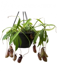 Nepenthes aristolochioides x ventricosa | 10 - 18 cm