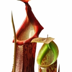 Nepenthes boschiana x mira | 6 - 8 cm