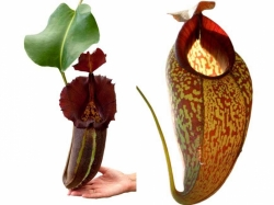 Nepenthes robcantleyi x (aristolochioides x spectabilis) | 6 - 10 cm