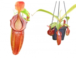 Nepenthes spathulata x dubia | 6 - 8 cm