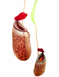 Nepenthes aristolochioides x ventricosa | 6 - 8 cm