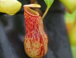Nepenthes burkei | Halcon | 8 - 12 cm