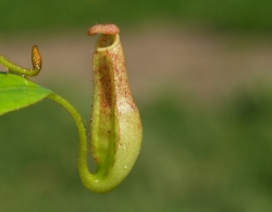 Nepenthes glandulifera x burbidgeae | 8 - 12 cm