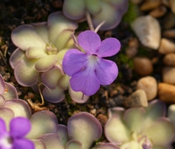 Pinguicula cyclosecta | 2 - 3 cm