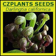 Darlingtonia californica | Cobra lilly | carnivorous plants seeds | 10s
